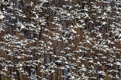 Cloud of Snow Geese (subtraho1) Tags: geese snowgeese snowgoose snow migration canon canon7dmarkii 7dmarkii 7dii ef100400mmf4556lisiiusm