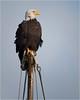 boat mast. bald eagle. (marneejill) Tags: boat mast bald eagle