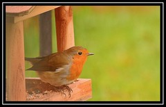 """Ready Robin..."" (NikonShutterBug1) Tags: nikond7100 tamron70300mm birds ornithology wildlife nature spe smartphotoeditor birdfeedingstation bokeh birdsfeeding robin 7dwf"