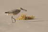 Willet (dennis_plank_nature_photography) Tags: padreislandnationalseashore willet avian birds nature