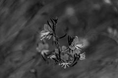 pretty in pink (Greg Rohan) Tags: blur dof depthoffield petals monochrome bw blackwhite blackandwhite nikon nikkor flowers flower d750 2017 macro plant nature