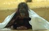 sumatran orangutan Sabbar Ouwehands BB2A5034 (j.a.kok) Tags: ouwehands aap monkey mammal zoogdier dier animal sabbar orangutan orangoetan sumatraanseorangoetan sumatranorangutan ape asia azie primaat primate mensaap