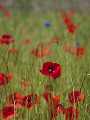 Aux jours heureux **---+° (Titole) Tags: poppies field titole nicolefaton red cornflower grass thechallengefactory