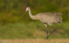 Sandhill crane (salmoteb@rogers.com) Tags: bird wild outdoor wildlife nature sandhill crane