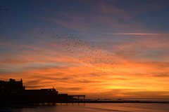 Starlings against a golden sky (karen leah) Tags: sunset twilight dusk december aberystwyth ceredigion outdoors nature colour spectacle winter atmospheric magical starling golden sea