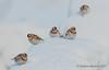 Snow buntings (Gowild@freeuk.com) Tags: plectrophenaxnivalis bird uk scotland snow wild wildlife nature cairngorms cairngormnationalpark winter nikon andrew marshall snowbunting birds