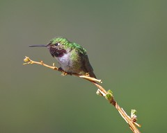 Angry Bird (Thomas James Caldwell) Tags: rocky mountain national park colorado 2013 summer june nature bird animal broadtailed hummingbird broad green pink red tailed colorful bokeh smooth branch outdoor iridescent buffy white gorget rose magneta male