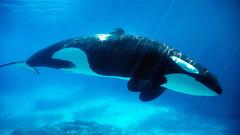 Kiska (Jennifer Stuber) Tags: marineland marinelandcanada kiska orca killerwhale friendshipcove