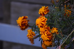 Tagetes (esta_ahi) Tags: lanoguera tagetes asteraceae compositae flor flora flores cultivadas osdebalaguer lleida lérida spain españa испания