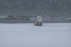 Daydream (slsjourneys) Tags: snowyowl jerseyshore snowstorm beach islandbeachstatepark winter