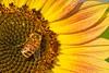 Bee Sunflower 4336 C (jim.choate59) Tags: bee sunflower summer sauvieisland flower yellow jchoate portlandoregon pdx macro sunny warm hot d610