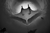 Angel in a Snell (jcl8888) Tags: mantaray blackandwhite monochrome revillagigedo archipelago island scuba diving underwater fisheye wideangle wildlife nature unescoworldheritagesite