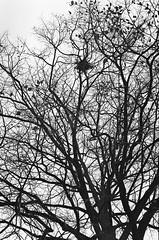 way up, a drey (.grux.) Tags: asahipentaxsv supertakumar55mmf18 m42 film ilfordxp2 up tree branches bare drey nest squirrel park testroll toronto