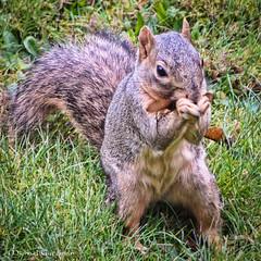 Backyard Squirrel (Michael Guttman) Tags: squirrel springfield oregon mammal rodent animal smallanimal grass seedpod eating closeup