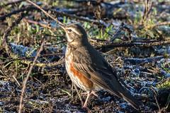 Redwing.  Turdus iliacus (keith.gallie) Tags: redwing thrush winter visitor turdus iliacus bird birder cheshire warrington