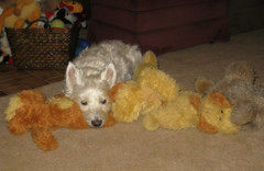 "12/12A ~ ""Riley relaxing with his pals"" (ellenc995) Tags: riley westie westhighlandwhiteterrier relaxing 12monthsfordogs17 thesunshinegroup coth coth5 fantasticnature alittlebeauty thegalaxy sunrays5 supershot challengeclub 100commentgroup"