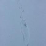 River Otter Tracks thumbnail