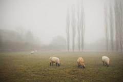 Sheepscape (CoolMcFlash) Tags: field nature fog foggy mist misty animal autumn austria styria feld natur landscape nebel nebelig herbst tier österreich steiermark fotografie photography rural ländlich grasen graze canon eos 60d sigma 1020mm 35