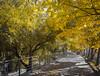 Fantasia in giallo (Andreas Laimer) Tags: tivoli viale alberi giallo colore samsung s6 autunno