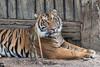 Suka (ToddLahman) Tags: suka sumatrantiger mammal male tiger tigers tigertrail escondido exhibita canon7dmkii canon canon100400 closeup portrait beautiful outdoors lowlight