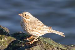 'Ipswich' Sparrow (tresed47) Tags: barnegatlightsp birds canon7d content fall ipswichsparrow newjersey november peterscamera petersphotos places savannahsparrow season sparrow takenby us