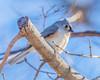 Tufted Titmouse (wplynn) Tags: castleton indianapolis indiana marioncounty wild bird birds baeolophus bicolor tufted titmouse