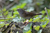 Dunnock - stood on a rock (rtatn8) Tags: uk amwellnr wildlife bird dunnock prunellamodularis flikr