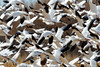 Snow Geese (dpsager) Tags: bird birds bosquedelapache bosquedelapachenationalwildliferefuge dpsagerphotograph geese newmexico snowgoose socorrocounty saariysqualitypictures