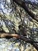 Macaque in a tree, Monkey Park near Azrou, Morocco (Paul McClure DC) Tags: azrou ifraneprovince morocco maroc almaghrib jan2017 middleatlas fèsmeknèsregion animals ape monkey macaque scenery