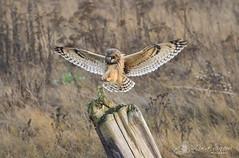097A6003_edit_resized_wm (Lisa Snow Photography) Tags: shortearedowl owl bird raptor