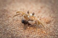 Cangrejo y abeja (Marcos Lozadam63) Tags: cangrejo abeja playa brasil