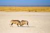 Warthogs (ch.gunkel) Tags: africa afrika etoscha etosha namibia natur savanne tierwelt warzenschwein nature savanna warthog wildlife