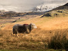 15th December 2017 (Rob Sutherland) Tags: herdwick birker sheep fell ulpha duddon eskdale valley cumbria lakedistrict skafell pike farm farming agriculture agrucltural cumbrian ldnp nationalpark england english north west northwest uk britain british winter snow cold