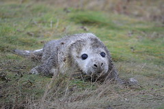 Grey seals (James L Taylor) Tags: lincolnshire wildlife trusts donna nook national nature reserve 61217 halichoerus grypus grey seals seal pinniped