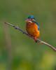 The cute little one (Emu Alim) Tags: afsnikkor800mmf56efled afsteleconvertertc800125e gitzo nikonbody nikond5 nikonlens nikonteleconverter otherkeywords tripod wh200wimberleyheadversioni afsnikkor800mmf56efledvr afsteleconvertertc800125eed wh200wimberleyheadversionii kingfisher commonkingfisher cute bird nature wildlife bangladesh
