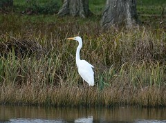 Great White Egret - Taken at Titchmarsh Nature Reserve, Aldwincle, Northants UK (Ian J Hicks) Tags:
