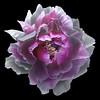 Peony (Pixel Fusion) Tags: peony flower flora nature macro nikon d600