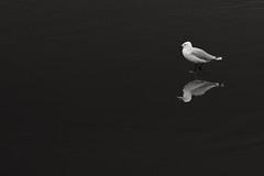 solitude and reflection, a journey... (Tony Macrellis) Tags: seagull reflection beach dark bw blackandwhite solitude journey discovery
