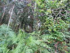 Rich variety of vegetation, path along Cape Ortegal (d.kevan) Tags: plants trees undergrowth capeortegal spain galicia ferns ivy creepers climbingplants
