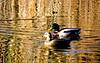 Couple de colverts (Diegojack) Tags: cossonay vaud suisse oiseaux canards colverts couple reflets joncs etang sépey