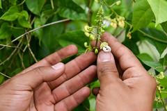 NP-seed regeneration Popayan 18