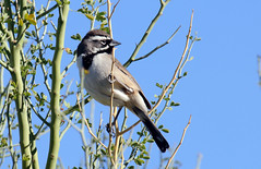 Black-throated Sparrow (Amphispiza bilineata); Catalina, AZ, Catalina Regional Park [Lou Feltz] (deserttoad) Tags: wildlife nature arizona tree desert plant bird wildbird sparrow park