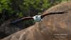 African Fish Eagle (Haliaeetus vocifer) (George Wilkinson) Tags: african fish eagle haliaeetusvocifer fishing lake malawi monkey bay africa canon 7d 400mm cape mcclear