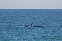 Whale mum & calf (davidthegray) Tags: dehoopnaturereserve sudafrica indianocean gardenroute whale southafrica balena humpback overbergdc westerncape za