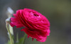 Colour (AnyMotion) Tags: persianbuttercup ranunkel ranunculusasiaticus floral flowers blossom blüte plant pflanze 2017 anymotion nature natur frankfurt vase 6d canoneos6d colours colors farben pink ngc npc