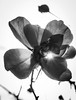 Lit.   #lafleur #red #rose #sunlight #jardin #petals #macro #vintage #flowers #sparkle #bnw_of_our_world #blackandwhite #art #urbanjungle #filthyflora #mextures #nature #flower #fleur #amateurs_bnw #heart #bnw #Flickr_nature #noiretblanc #naturelover #mac (jophipps1) Tags: blackandwhite vintage bnwofourworld macrobrilliance sunlight mextures naturelover nature rose petals art flower urbanjungle amateursbnw flickrnature sparkle filthyflora heart noiretblanc bnw macro red jardin flickr flowers fleur lafleur