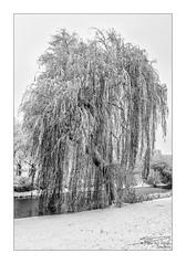Snow covered weeping willow (PvRFotografie) Tags: nederland holland rotterdam rotterdamzuid rotterdamcharlois winter snow sneeuw bomen boom tree trees nature natuur zwartwit blackandwhite blackwhite monochrome sonyilca99m2 minolta 20mm minoltaaf20mmf28 vintagelens