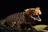 Tribolonotus gracilis, young specimen in defensive posture (Adrien Farese) Tags: defensive posture lizard tribolonotus gracilis young specimen reptile newguinea nouvelleguinée skink scinque
