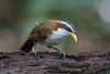 White-browed Scimitar Blabber [Explored] (BP Chua) Tags: bird nature wild wildlife wildlifephotography naturephotography naturelover birdphotography kaengkrachan thailand nationalpark nikon nikond750 600mm