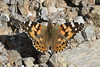 Painted Lady - Vanessa cardui (Roger Wasley) Tags: paintedlady vanessacardui westbengal india asia butterfly butterflies insect indian
